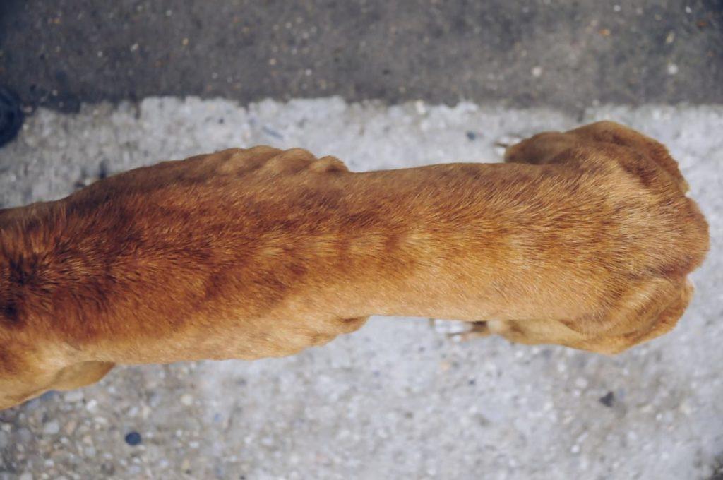 sobrepeso en los perros - delgadez
